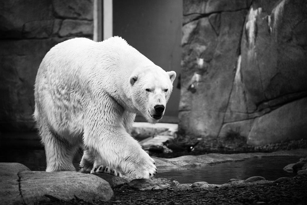 Dlaczego biały niedźwiedź szkodzi Twojejdiecie?